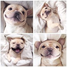 french bulldog smiles