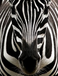 and white photography - animal - safari - zebra - black and white - stripe. - black and white photography – animal – safari – zebra – black and white – stripes – afr -black and white photography - animal - safari - zebra - black . Beautiful Creatures, Animals Beautiful, Beautiful Dogs, Regard Animal, Foto Picture, Picture Frame, Tier Fotos, All Gods Creatures, Cute Baby Animals
