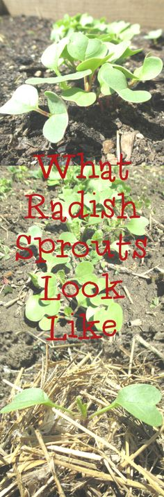 What Do Radishes Look Like When They Sprout Radish Sprouts, Ecommerce Hosting, Growing Vegetables, Gardening, Lawn And Garden, Planting Vegetables, Urban Homesteading, Horticulture
