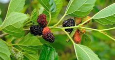 Whats your favorite fruit ? Grow these Top 10 fruits in pot at home - Top 10 Plants - NurseryLive Wikipedia