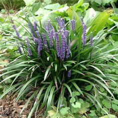 Perennials brunnera 39 jack frost 39 balkonpflanzen for Evergreen pflanzen