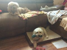 My spoiled poodles with their toys