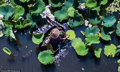 Large leaves fill an extensive section of the wetlands. A farmer, above, goes out in a drum-shaped boat to collect lotus seed heads