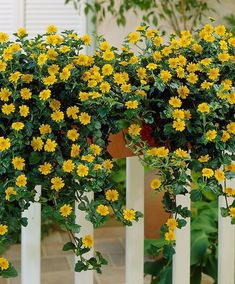 32 Appealing Cascading Flowers for Window Boxes Balcony Flower Box, Window Box Flowers, Window Boxes, Flower Boxes, Nemesia Flowers, Trailing Flowers, Cascading Flowers, Balcony Planters, Small Balcony Garden