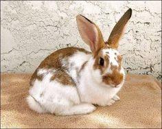 English Spot, Rabbit; Phoenix, AZ
