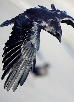 "Saw many crows on my recent visit to Amsterdam: ""The crow is a spirit animal associated with life mysteries and magic. The power of this bird as totem and spirit guide is provide insight and means of supporting intentions. "" spiritanimal.info"