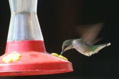 Hummingbird filling up Hummingbird, Lava Lamp, Orchids, Table Lamp, Gardening, Home Decor, Lamp Table, Lawn And Garden, Hummingbirds