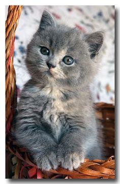 Blue Cream British kitten