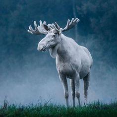 Un meraviglioso alce bianco svedese