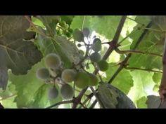 Милдью на винограде. Это опасно. Принимайте меры. - YouTube