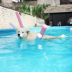 Polar Bear Dogs, Samoyed Puppies, Animals And Pets, Cute Animals, Old Dogs, A Team, Dog Breeds, Instagram Posts, Life