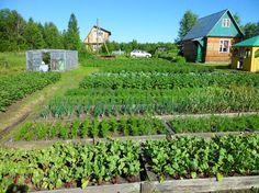 огород, овощи на грядке