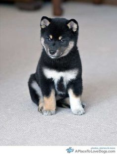 best images, photos and pictures about shiba inu puppies - oldest dog breeds Japanese Dog Breeds, Japanese Dogs, Animals And Pets, Baby Animals, Cute Animals, Beautiful Dogs, Animals Beautiful, Chien Shiba Inu, Shiba Inu Black