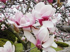 we had a beautiful magnolia tree in our back yard right outside our kitchen window by the sink.  it blossomed every year for mother's day.  :)