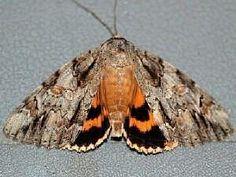 Catocala subnata, © Paul Scharf Youthful Underwing Moth