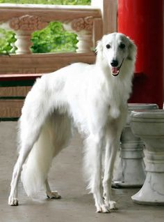 Gideon a Talisman Silken Windhound, three quarters profile