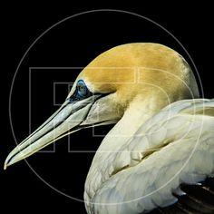 La estética y el nombre no definen la audacia. #gannet #nature #wildlife #outdoors #photography #documental #documentary #life #bird #seabird #travel #backpackers