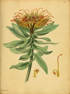Henry Andrews, (1797) - The botanist's repository, for new and rare plants : - Biodiversity Heritage Library