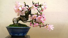 Sakura Bonsai - I want a Bonsai tree, but I don't want or know how to take care of it.