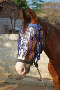 Marwari horse: The native horse of India with characteristic ears meeting at tips