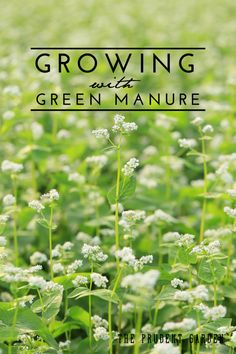 """Green manure is a bit different than, but related to, cover cropping. Learn the difference and how to apply green manure """"technology"""" for a better garden."""