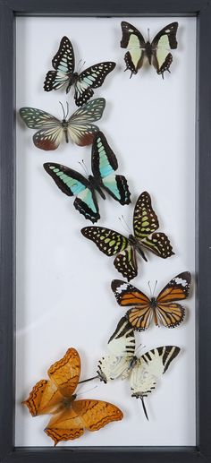 Nothing makes for a more perfect gift, than this natural butterfly display.