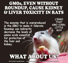 http://www.gmoseralini.org/they-gmos-make-animals-seriously-ill/  http://www.blogtalkradio.com/eatingdisorderpro/2014/01/23/eating-disorders-obesity-and-genetically-modified-foods-gmos  http://gmofreeusa.org/gmos-are-top/there-is-no-consensus-on-the-safety-of-gmos/  READ: Over 1,400 independent peer reviewed studies, surveys, and analyses that suggest various adverse impacts and potential adverse impacts: http://gmofreeusa.org/gmos-are-top/gmo-science/