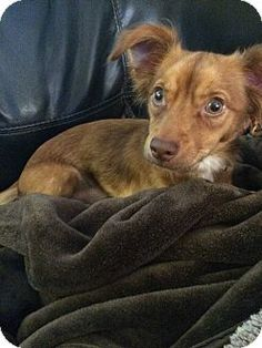 Pictures of Delgado a Dachshund Mix for adoption in Streamwood, IL who needs a…