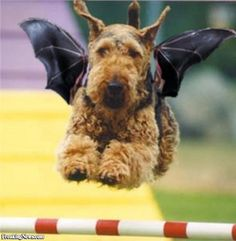 Wirehaired Terrier bat