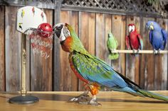 World Record: Most Slam Dunks By A Parrot