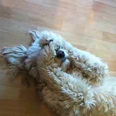 Napping Goldendoodle