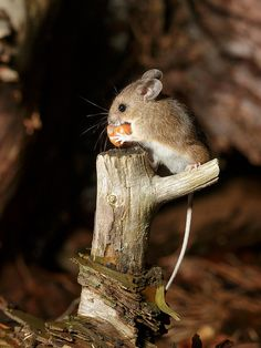 Mouse eating an acorn.