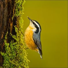 Red-breasted Nuthatch by Jim Craig on 500px