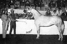 AMURATH ISIS (*Ramses Fayek x Amurath Kalahari, by Fadi) 1972 grey mare bred by Paul & Sandy Loeber; produced 11 registered purebreds