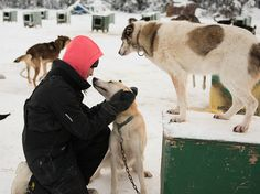 A Day In The Life Of 12 Alaskan Sled Dogs