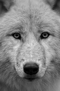 I love a wolfs face, looks so smart and beautiful.