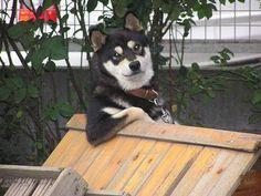Este cachorro vigiando tudo.
