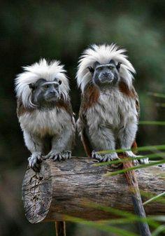 Cotton top Tamerins  |nature| |wild life| #nature #wildlife https://biopop.com/