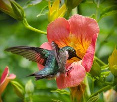 Awesome photo of a hummingbird and hibiscus, photo by Christy Turner
