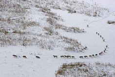 A massive pack of 25 timberwolves hunting bison on the Arctic Circle in northern Canada. In mid-winter in Wood Buffalo National Park temperatures hover around The wolf pack, led by the alpha female, travel single-file through the deep snow to. Northern Canada, Packing To Move, Ends Of The Earth, 3 In One, Haiti, Sick, Old Things, Internet, Arctic Circle