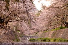 143:「満開から散る前に撮った桜の写真です。川の落ち着いた流れの中に華やかに咲く桜の感じを出してみました。よろしくお願いします。」@夙川公園