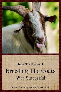 How To Know If Breeding The Goats Was Successful - Farming My Backyard Raising Farm Animals, Raising Goats, Backyard Farming, Chickens Backyard, Breeding Goats, Successful Farming, Goat Care, Nigerian Dwarf Goats, Goat Farming
