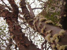 Jubajacaba blooms