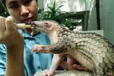 The Heartbreaking Poaching Epidemic You Haven't Heard of Yet~  Pangolins are among the oddest and least-familiar animals on Earth. They're mammals, but they're armor-plated. Their chief defensive posture is to tuck their heads under their tails and roll up, like a basketball crossed with an artichoke. (It works: Even lions generally can't get a grip.)