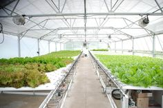 Hydroponic systems offer growers benefits like increased plant productivity, a high yield per plant per square foot and fresh produce regardless of season or ground temperature.