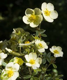 15 Impossible-To-Kill Outdoor Plants Shrubby Cinquefoil, Primrose Beauty: Known For Its Pale Yellow Blooms, This Variety Fares Best When Situated In Full Sun. Flowers Perennials, Plants, Flowering Shrubs, Hardy Plants, Rockery Garden, Outdoor Plants, Primrose, Shade Garden Plants, Landscaping Plants