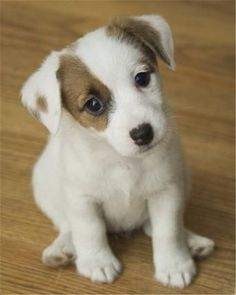 Dogs » 20 Jack Russell Terrier Dogs Photos You Will Love » ❤️ More Ideas:    http://fallinpets.com/jack-russell-terrier-dogs-photos-will-love/ #puppy