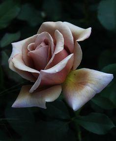 'Koko Loko'  | Floribunda rose (2010)