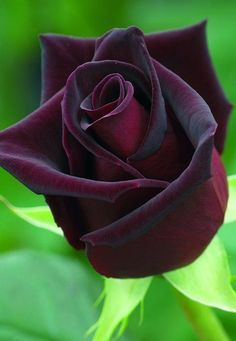 Rosa 'Black Baccara'- The 'Black Baccara' rose is one of the darkest in the world! The deep dark Bordeaux shimmers almost black against the light!