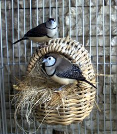 We have 3 new family members!!! Mo, Larry & Curley---3 owl finches...Momma, Daddy & their baby!!!  :)